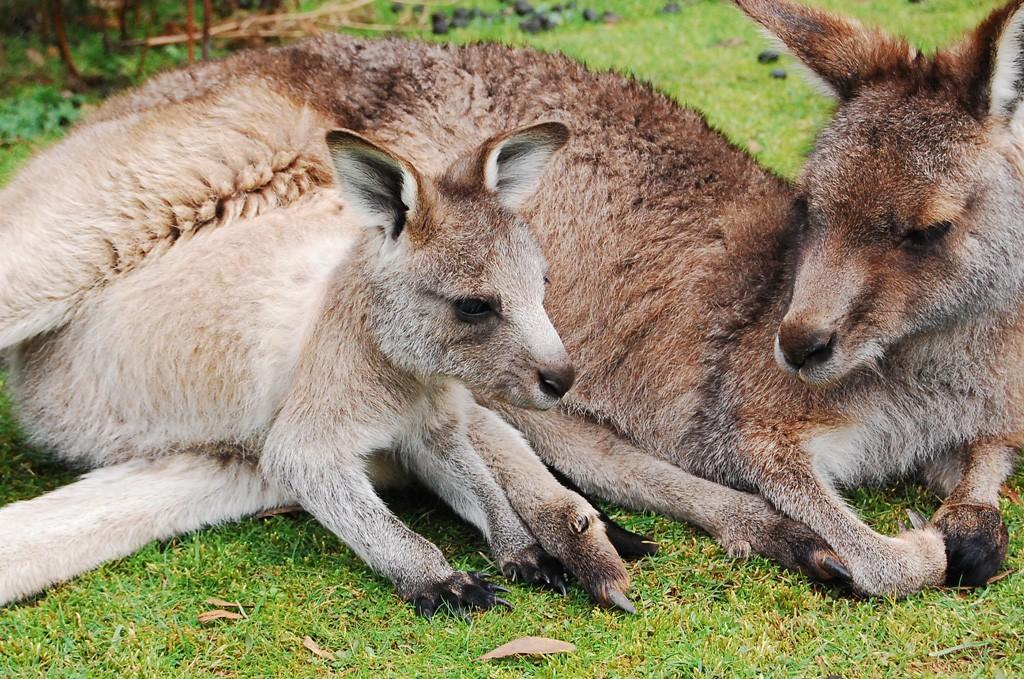 kangaroo-origin1